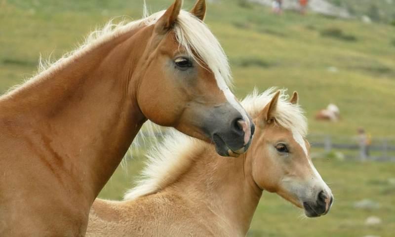 Cinco fatos que talvez você não sabia sobre cavalos Haflinger